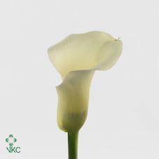 blondy white calla lily