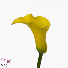 captain brooklyn yellow calla lily