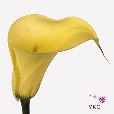 captain corona yellow calla lily