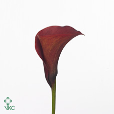 hot blooded blz calla lily