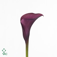 hot cherry blz calla lily