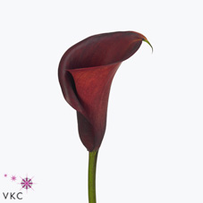 red adair calla lily